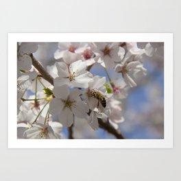 Honey Bee Pollinating Cherry Blossom Art Print