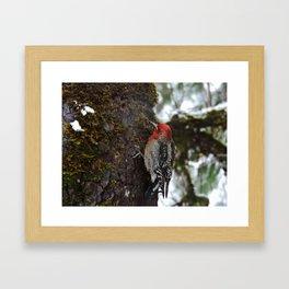 Red-Breasted Sapsucker in Christmas Snow Framed Art Print