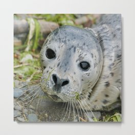 Harbor Seal Pup Metal Print