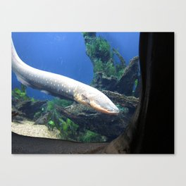 Electric Eel 2 Canvas Print