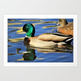 Regal Duck Reflects on the Water Art Print