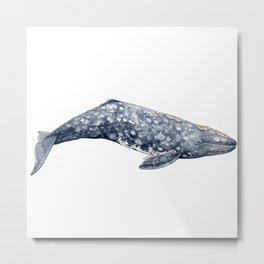 Mexico Grey whale Metal Print