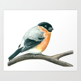 Bullfinch bird Art Print