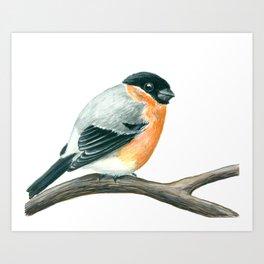 Bullfinch bird Art Print