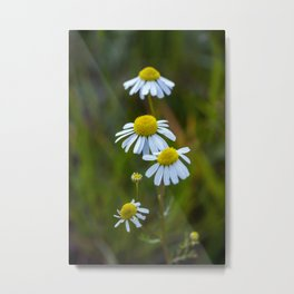 Wild daisies Metal Print