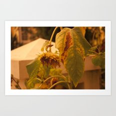 The Sun has Set and tomorrow, God willing, it will rise again [SUNFLOWER] [WILTING] [YELLOW SKY]  Art Print