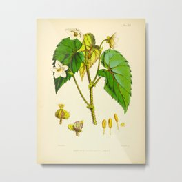 Vintage Botanical Illustrations Himalayan Plants White Flowers Green Leaves Metal Print