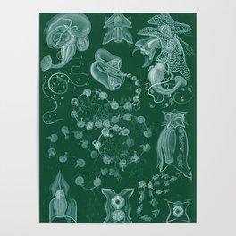 Ernst Haeckel Siphonophorae Hydrozoan Poster