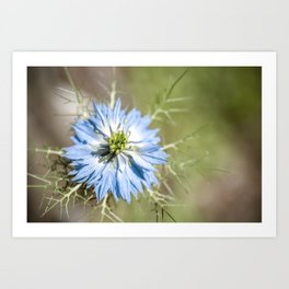 Blue flower close up Nigella love in the mist Art Print