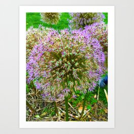 Purple Flower Close Up of Alliums Welcome to Boston Common Art Print