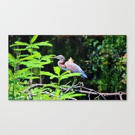 Juvenile Tricolored Heron Canvas Print