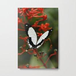 Mocker Swallowtail Butterfly Metal Print