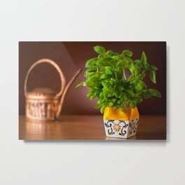 Ocimum basil plant in decorative flowerpot Metal Print