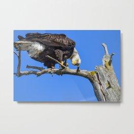 Alaskan Adult Bald_Eagle - Quizzical Metal Print