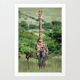 Giraffe Standing tall Art Print