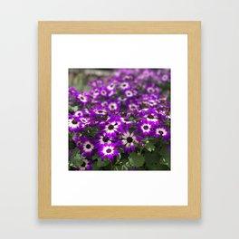 Cineraria Flower Framed Art Print