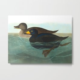 Scoter Duck Vintage Scientific Bird & Botanical Illustration Metal Print