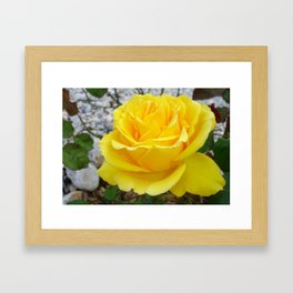 Beautiful Yellow Rose with Natural Garden Background Framed Art Print