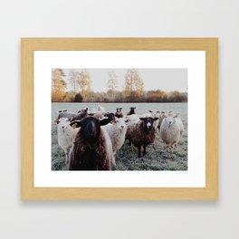 Sheep in Dalarna Framed Art Print