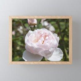 Pink Cabbage Rose Framed Mini Art Print