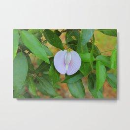 Purple Buttefly-Pea Flower Metal Print
