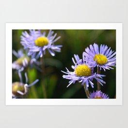 Pinnate Daisy Art Print