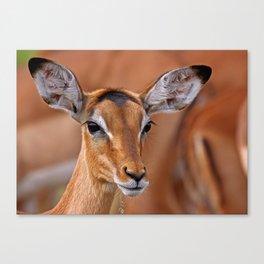 Impala - Africa wildlife Canvas Print