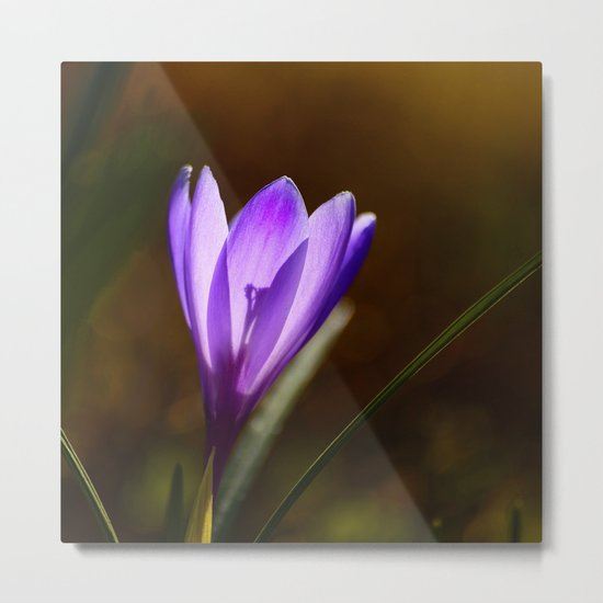 Bright Purple Spring Crocus Metal Print