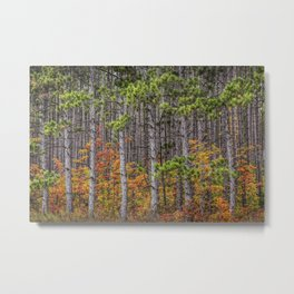 Small Saplings among a Grove of Pine Trees Metal Print