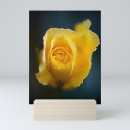 Pretty yellow rose flower against dark blue background. Close up nature photography. Mini Art Print