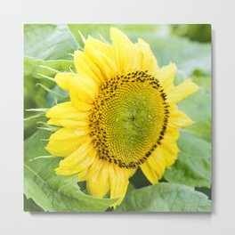 Teddy Bear Sunflower Bloom Metal Print