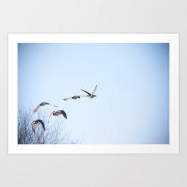 Ducks in Flight Art Print