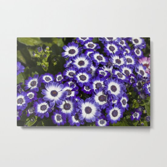 Cineraria Purple Metal Print