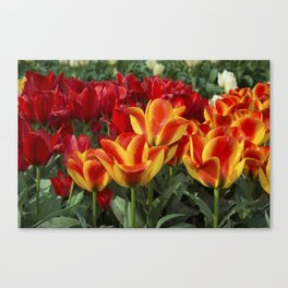 Red yellow Tulips  Canvas Print
