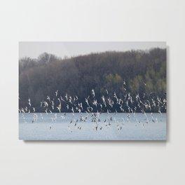 Bonaparte Gull Flock 2 Metal Print