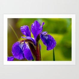 Purple Iris Flower Art Print