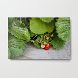 Wild Strawberry Photography Print Metal Print