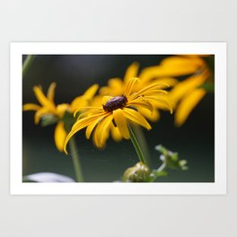 Beautiful Black-Eyed-Susan Art Print