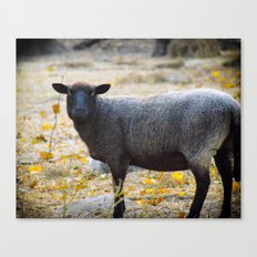 Bah Bah Said the Black Sheep Canvas Print