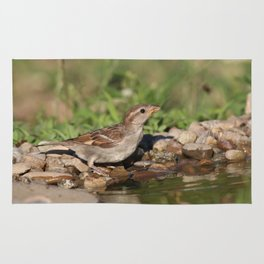 young sparrow at water and drink Rug