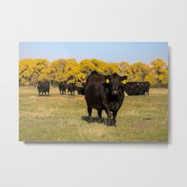 Golden Fall and Black Cows Metal Print