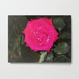 Red Rose Shiny With Morning Dew Metal Print