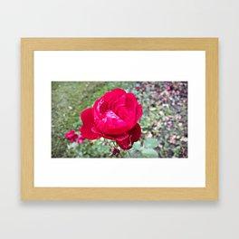 Romanian Rose Framed Art Print