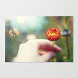 Everlasting Strawflower Canvas Print
