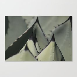 Agave Palmeri Canvas Print