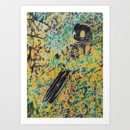 Black Cockatoo in Wattle Art Print
