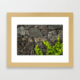 Ivy growing on volcanic rocks Framed Art Print