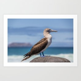 Galapagos blue footed booby bird photography Art Print