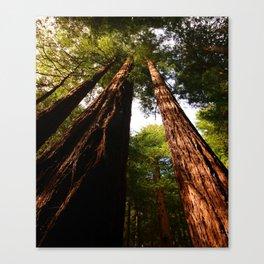 Redwood Tree Tops Canvas Print