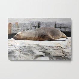 Sleeping Sea Lion Metal Print